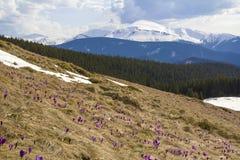 奇妙开花的令人惊讶的第一朵明亮的紫罗兰美丽的景色  库存图片