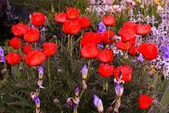 奇妙红色鸦片花 库存照片