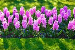 奇妙风信花花在Keukenhof公园 库存照片