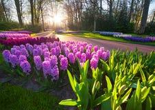 奇妙风信花花在Keukenhof公园 库存图片