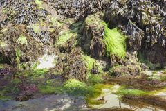 奇怪形状在低潮海岸线的海藻在法国 库存照片