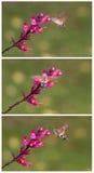 奇怪的昆虫,哺养在花的Macroglossum stellatarum 图库摄影