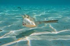 奇怪的有角的热带鱼长角牛海牛 免版税图库摄影