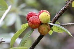 奇怪的果子生长togetherï ¼ Œarbutus 免版税图库摄影