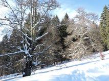 奇怪的树在冬天 免版税库存图片