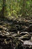 奇怪的树根在热带森林里 免版税库存照片