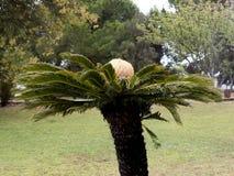 奇怪的棕榈树在里斯本贝拉母区在葡萄牙 免版税图库摄影