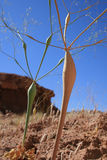 奇怪的沙漠植物 免版税库存图片