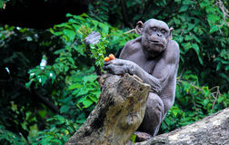 奇怪的猿 免版税库存照片
