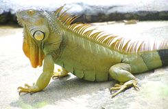 奇怪的蜥蜴 库存照片