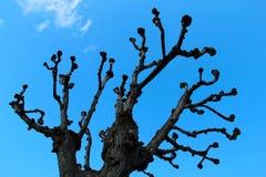 奇怪的赤裸树在春天 免版税库存照片
