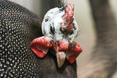 奇怪的野鸡 免版税图库摄影