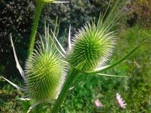 奇怪的绿色野花 库存照片