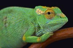 奇怪被引导的变色蜥蜴(Kinyongia xenorhina) 库存图片