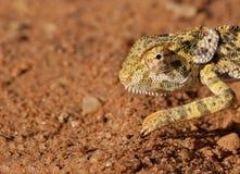 奇怪非洲的变色蜥蜴 库存照片