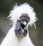 奇怪1只的鸡 免版税库存图片