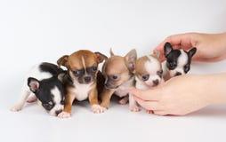 奇瓦瓦狗五只小狗  免版税库存照片