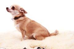 奇瓦瓦狗休息 库存图片