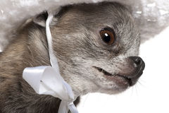 奇瓦瓦狗关闭穿戴了佩带的帽子  免版税图库摄影