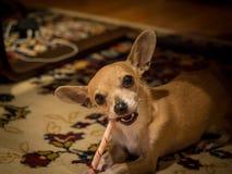 奇瓦瓦狗名为Bambi 库存图片