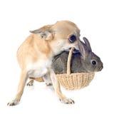 奇瓦瓦狗和兔子 库存照片