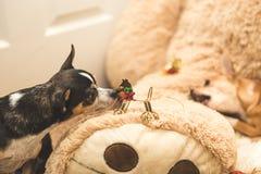 奇瓦瓦狗和圣诞节装饰品 免版税库存图片