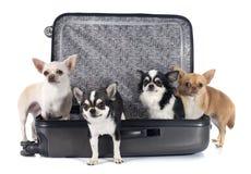 奇瓦瓦狗和手提箱 免版税图库摄影