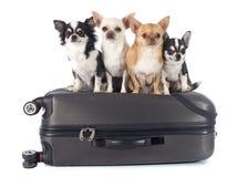 奇瓦瓦狗和手提箱 库存照片