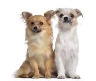 奇瓦瓦狗和杂种, 8个月,坐 库存图片
