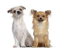 奇瓦瓦狗和杂种, 8个月,坐 免版税库存照片