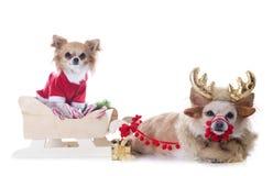 奇瓦瓦狗和爬犁 免版税库存图片