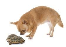 奇瓦瓦狗和草龟 免版税库存图片