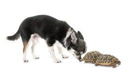 奇瓦瓦狗和草龟 库存照片