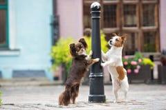 奇瓦瓦狗和起重器罗素狗在城市尾随摆在 免版税图库摄影