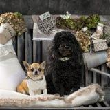 奇瓦瓦狗和长卷毛狗 库存照片