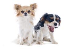 奇瓦瓦狗和骑士查尔斯国王 免版税图库摄影