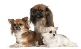 奇瓦瓦狗和Pekingese, 1, 2和二个半 免版税库存图片