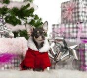 奇瓦瓦狗圣诞节成套装备圣诞老人佩带 库存图片