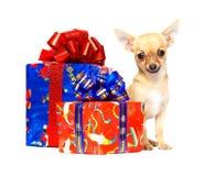 奇瓦瓦狗圣诞节礼品小狗年轻人 免版税库存图片