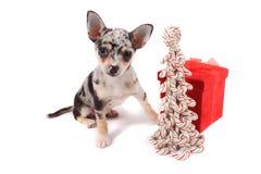 奇瓦瓦狗圣诞节 图库摄影