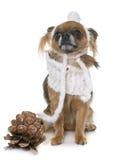 奇瓦瓦狗在冬天 库存照片