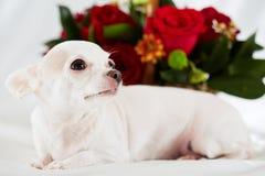 奇瓦瓦狗在卧具说谎反对花 免版税库存照片