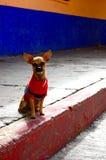 奇瓦瓦狗在墨西哥 库存图片