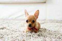 奇瓦瓦狗在客厅 免版税库存照片