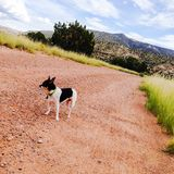 奇瓦瓦狗在沙漠 库存照片