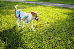 奇瓦瓦狗在草坪的小狗步行 库存照片