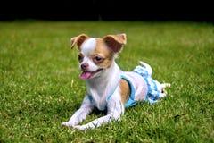 奇瓦瓦狗在草坪的小狗谎言 免版税库存照片