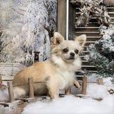 奇瓦瓦狗坐在冬天风景的一座桥梁 库存图片
