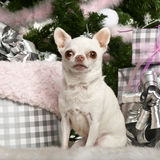 奇瓦瓦狗坐结构树的圣诞节礼品 免版税库存图片