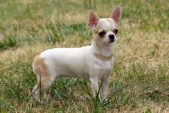 奇瓦瓦狗头发的短小 免版税库存图片